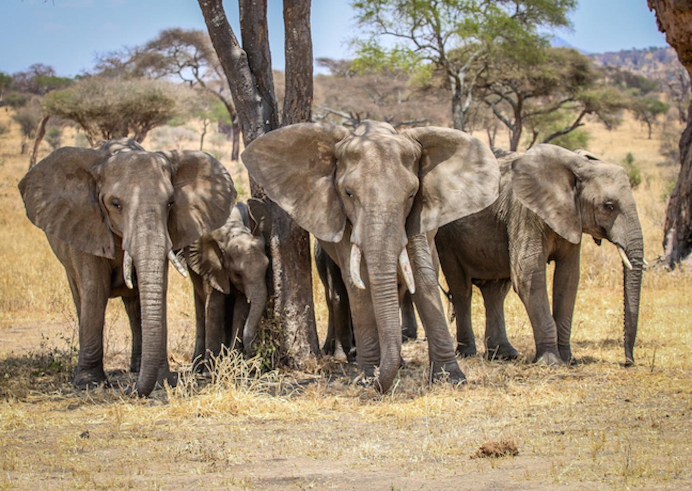 Sloni afričtí v národním parku Tarangire